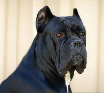 Bellissima cane corsos cane corso breeder tennessee cane corso bellissima lady cypress malvernweather Image collections