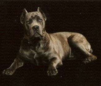 Bellissima cane corsos cane corso breeder tennessee cane corso co owned by jerry yamile grijalva malvernweather Image collections